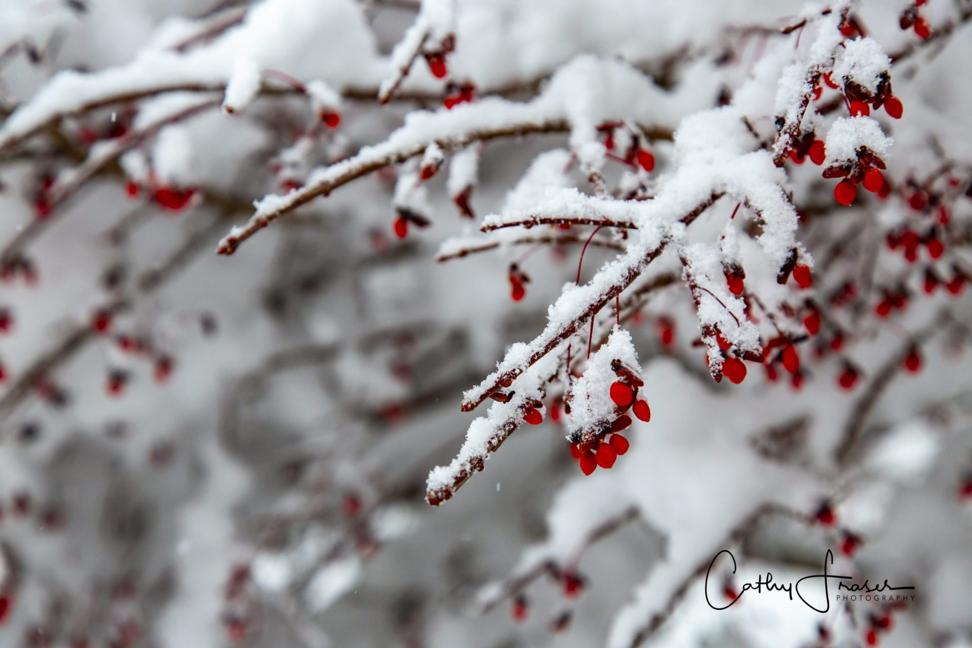 Landscape photography of branches with snow on them, with red berries