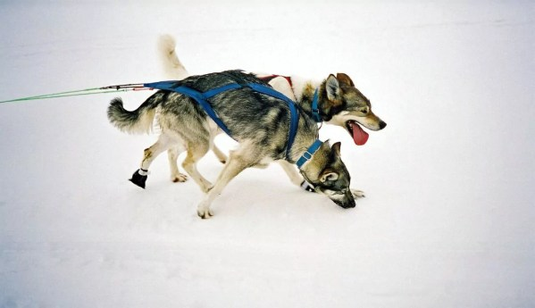 Dog sledding in Nordkapp
