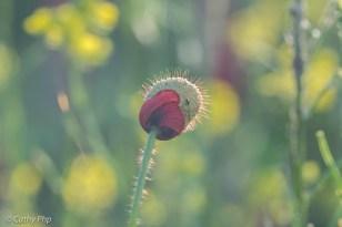 20160606-klaproos bloem rood onluiken