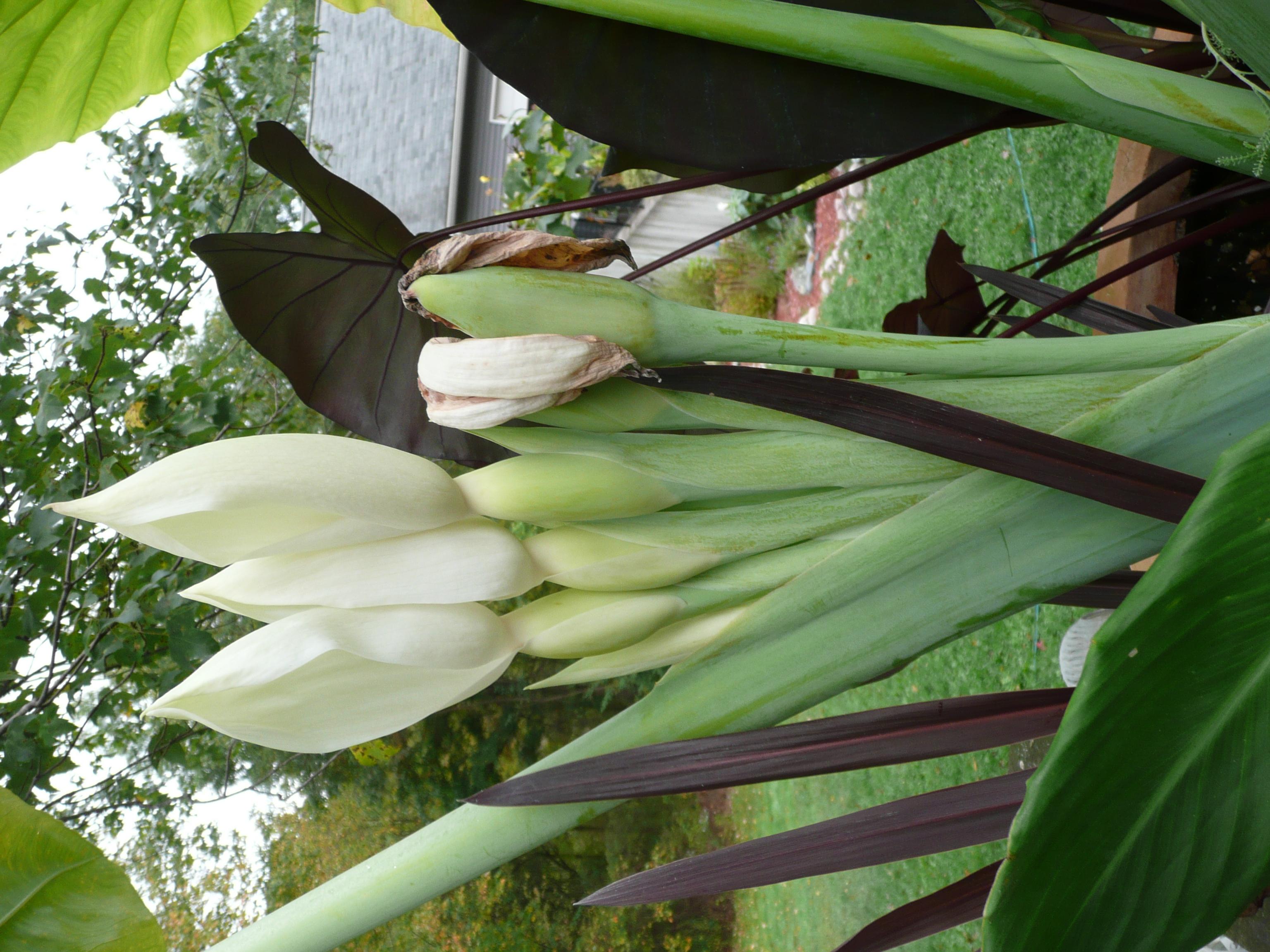 Giant Ele Ear Flowers