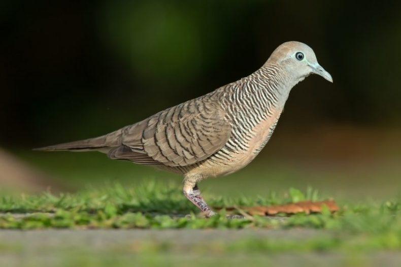 Burung Perkutut Jawa