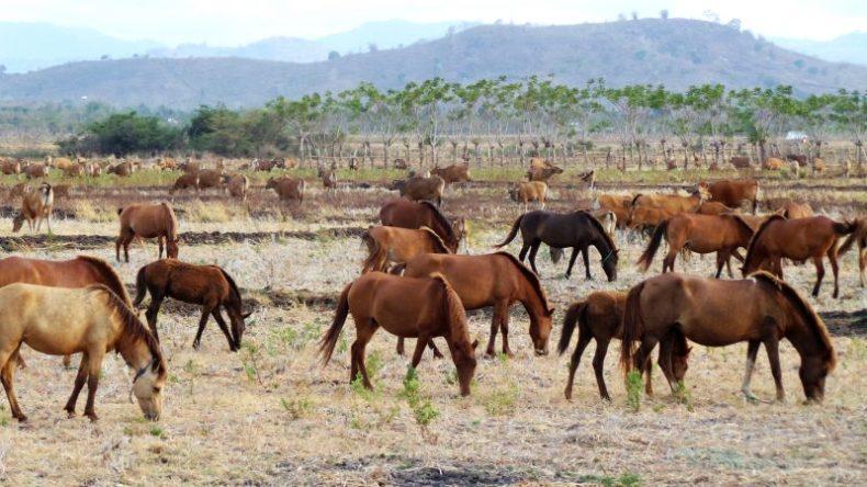Kuda Sumbawa