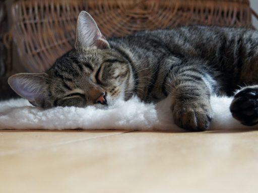 Tabby cat asleep on a white fluffy rug