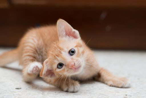 Kittens are particularly vulnerable to the side-effects of a flea infestation