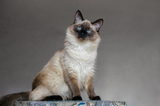 Balinese may be fluffy but are more hypoallergenic than other cat breeds