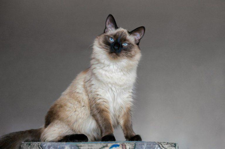 Balinesen sollen wenig Fel d1 produzieren und sind daher bei Katzenallergie geeignet.