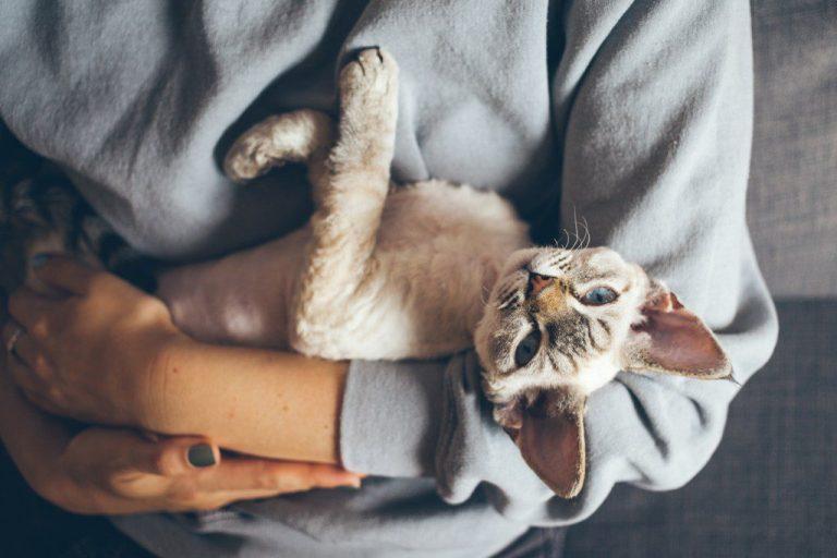 Devon Rex Katzen haben etwas lockiges Fell.