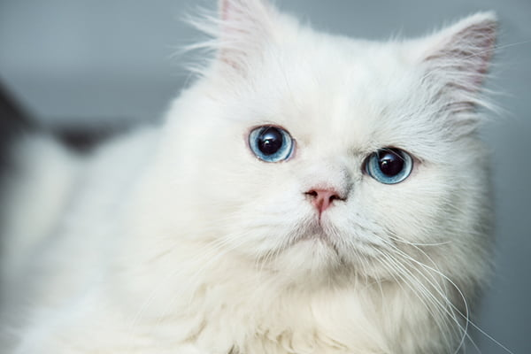4 Things to Know About Cats With Blue Eyes