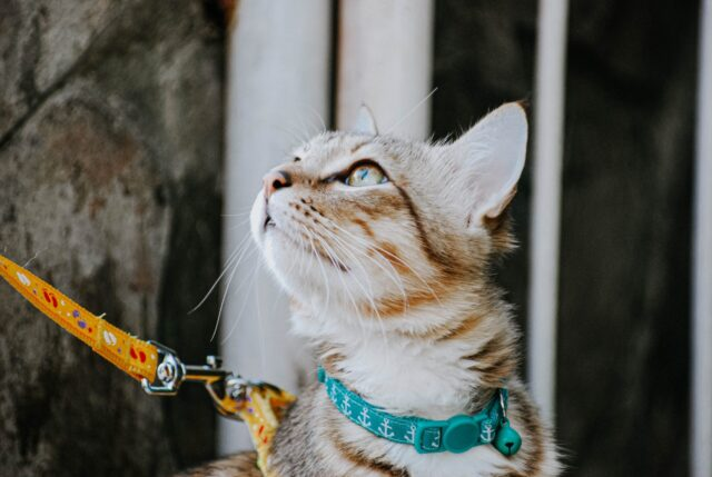 What To Be Aware Of When Walking Your Cat On A Leash