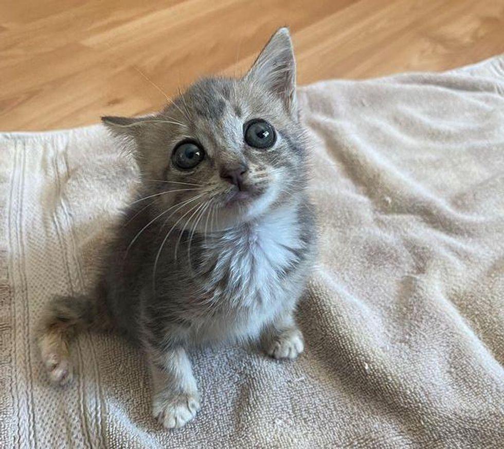 big eyed kitten, manx kitten