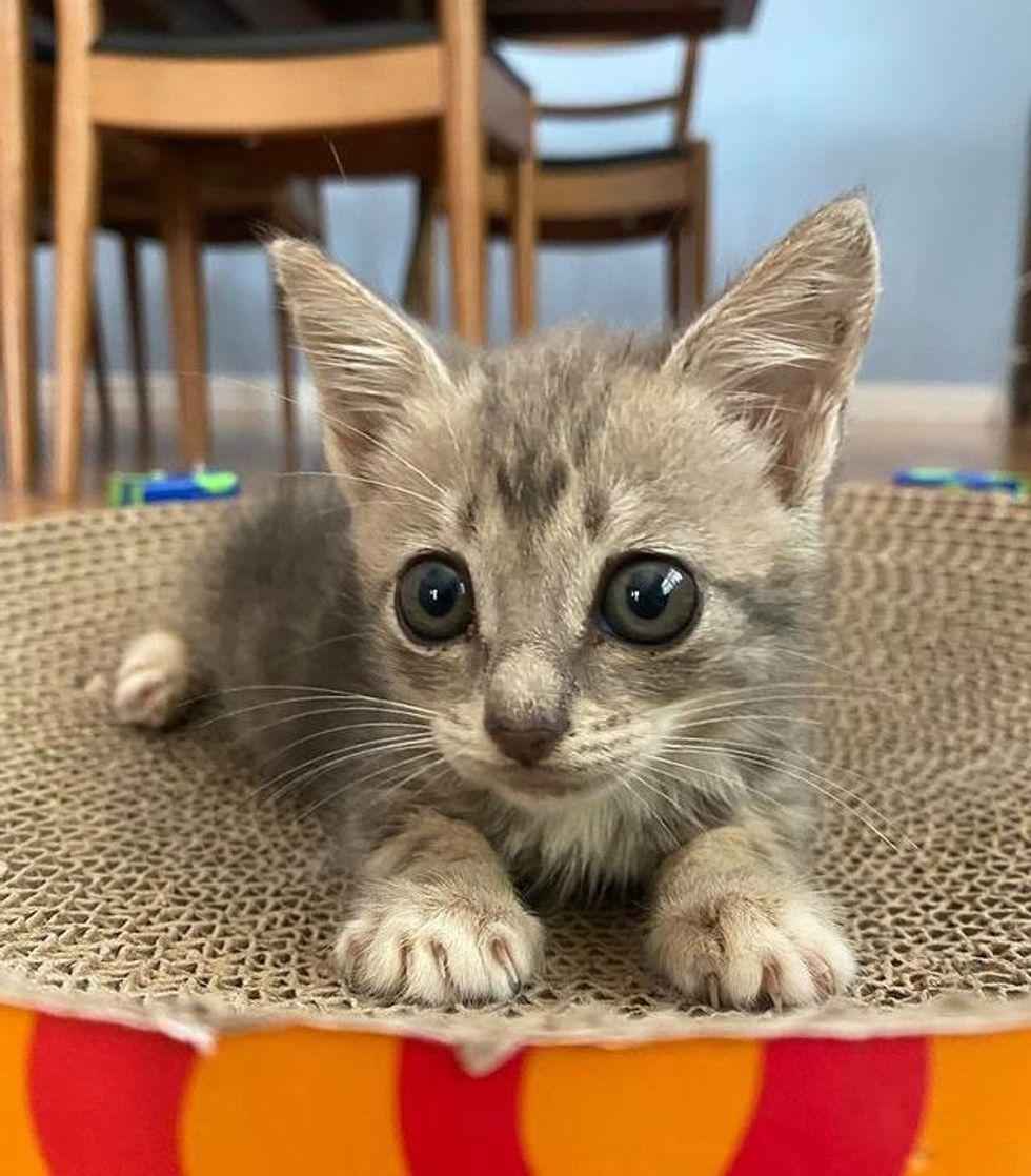 big paws kitten