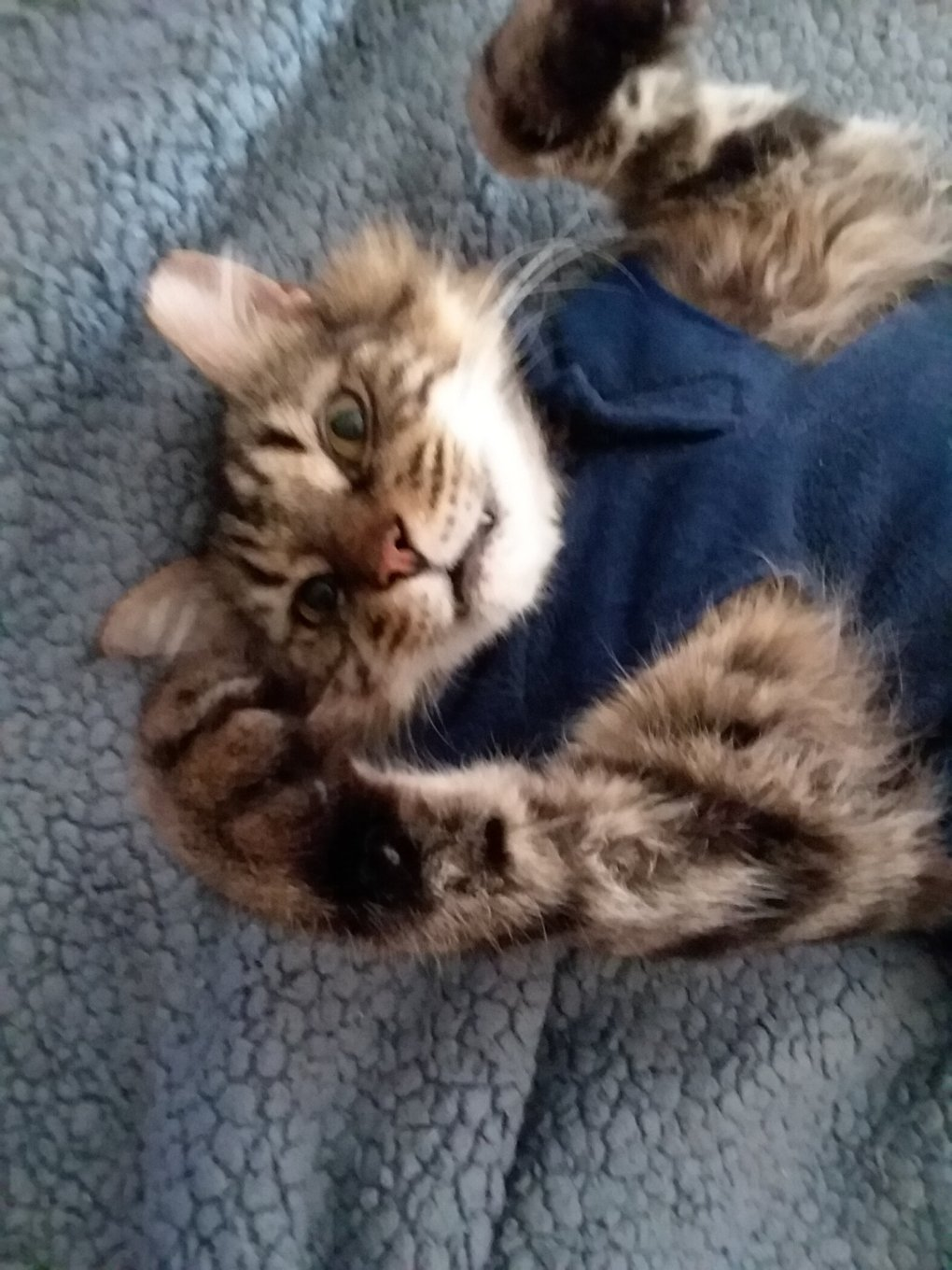 Guest Cat Star: Texas the Maine Coon Mix