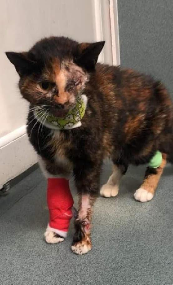 'Miracle' Cat Who Survived Being hit by Bus Searches for new Home After RSPCA Spend Five Months Nursing her Back to Health