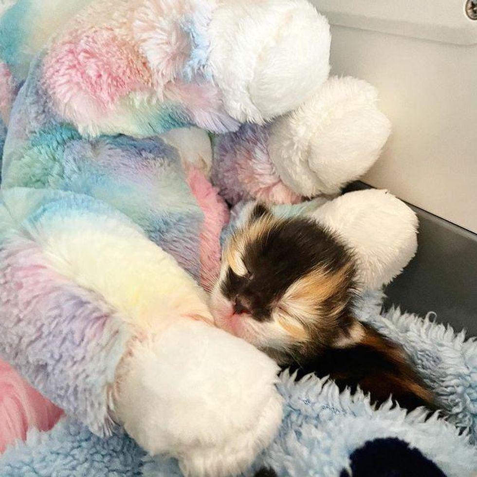 calico kitten snuggling
