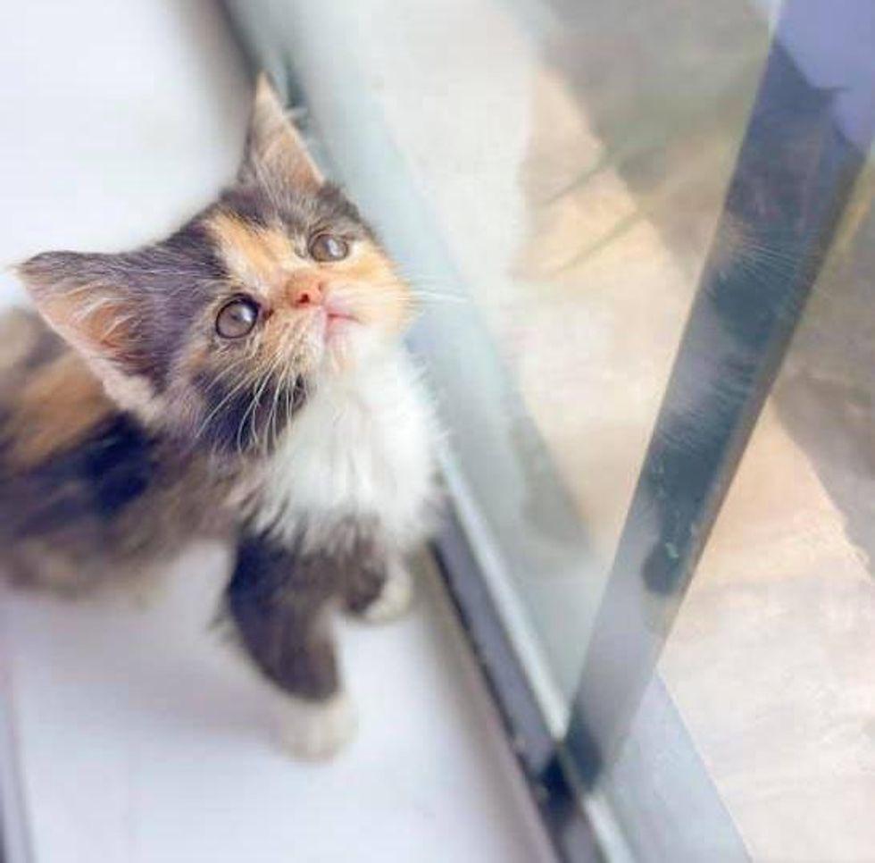 tiny calico kitten