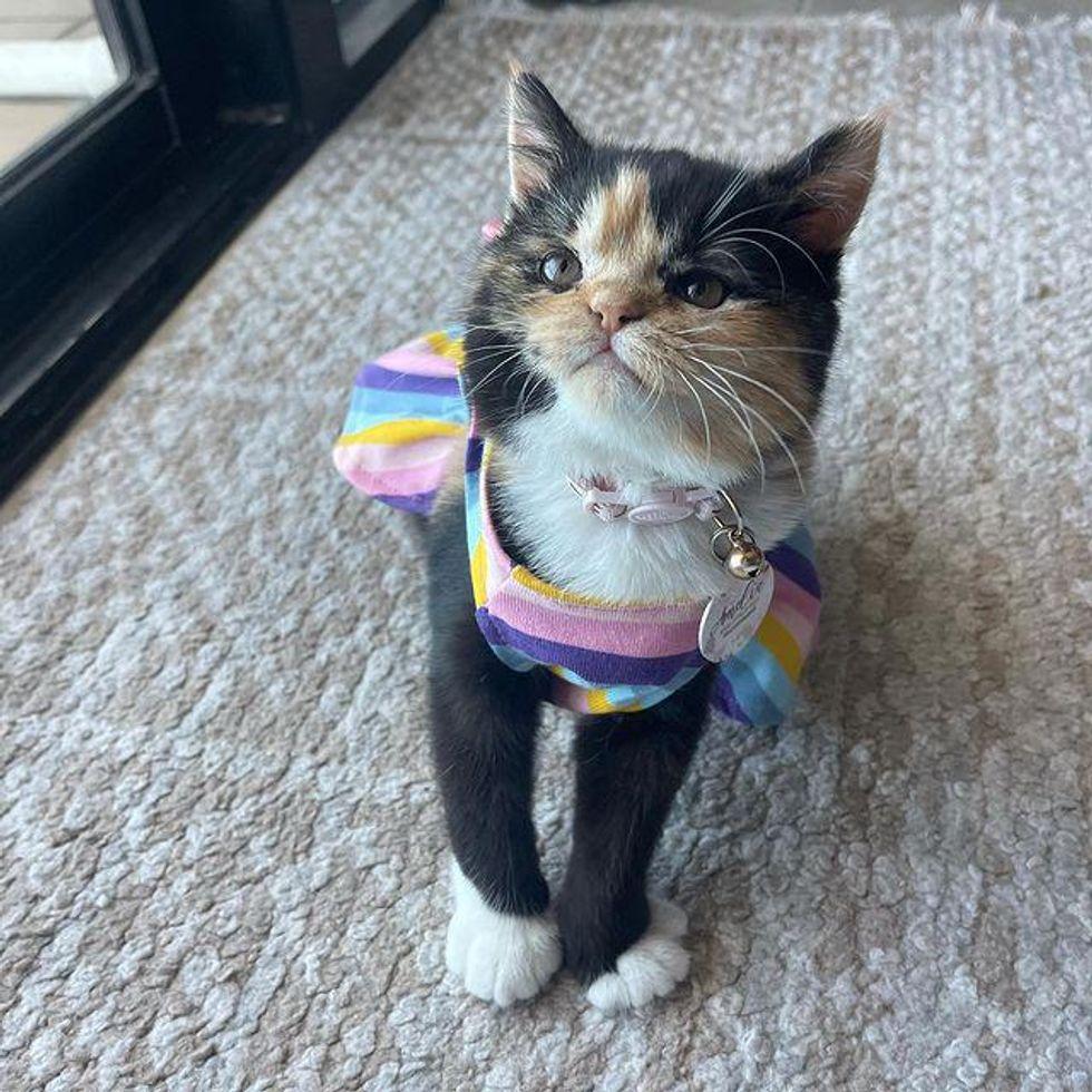 persian calico cat in dress