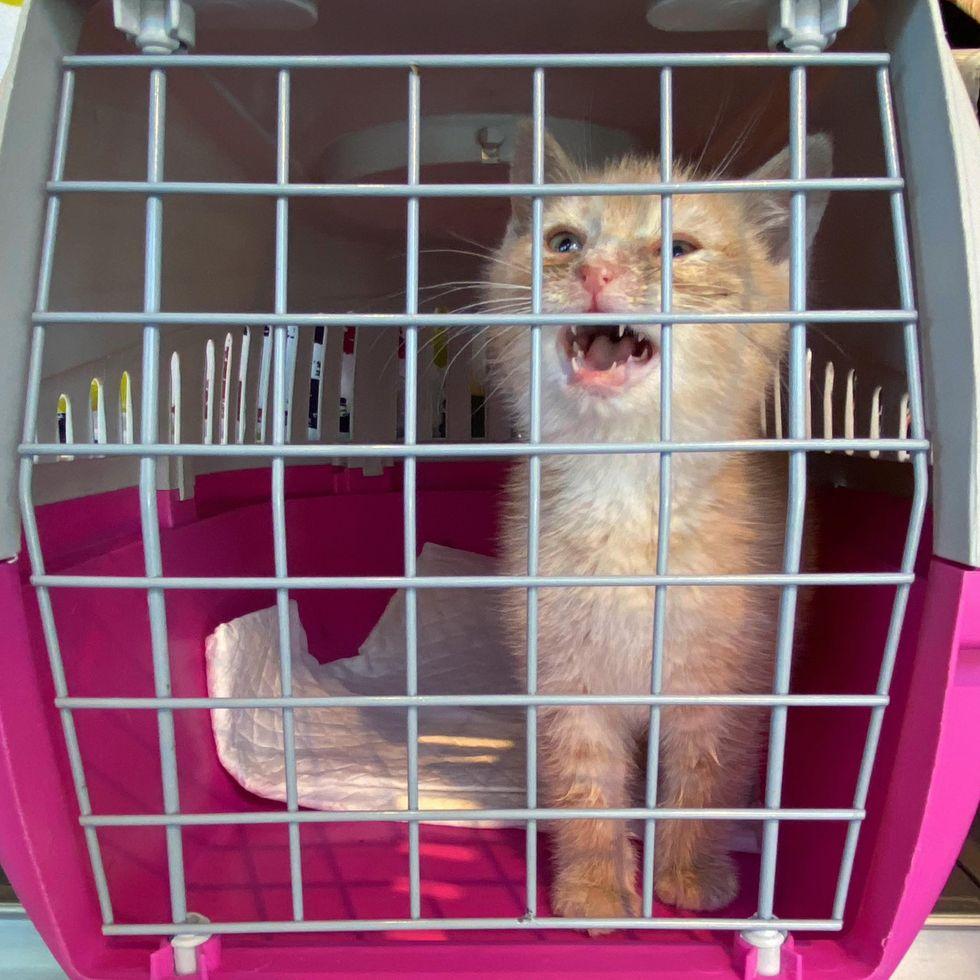 stray kitten crying