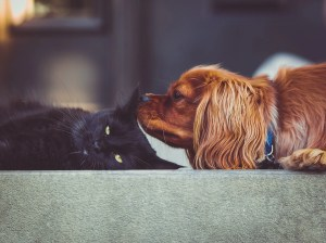 Black cat & spaniel dog - gotta get rid of fleas on both dogs and cats