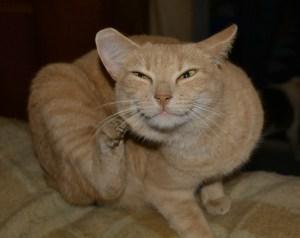 Orange tabby cat with fleas scratching herself