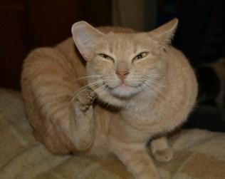 Orange Tabby Cat Scratching Herself