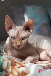 sphynx cat looking stern
