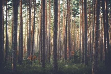 cedar trees-chips used for flea control