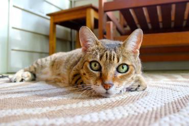 tabby cat lying on a rug