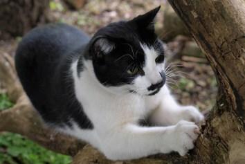 tuxedo cat with mustache
