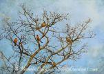 Five Robins