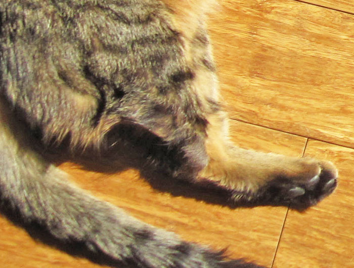 guest post what to expect when caring for a three legged cat cat