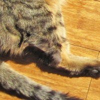 Guest Post: What to Expect When Caring for a Three-legged Cat