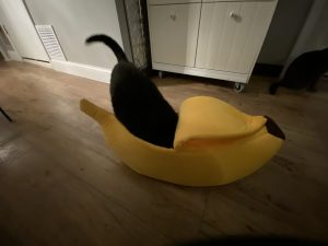 Cats butt stickin out of a banana
