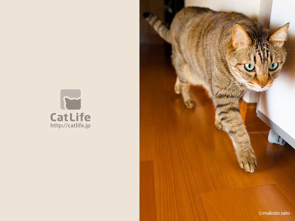 CatLife猫写真壁紙 2014年4月