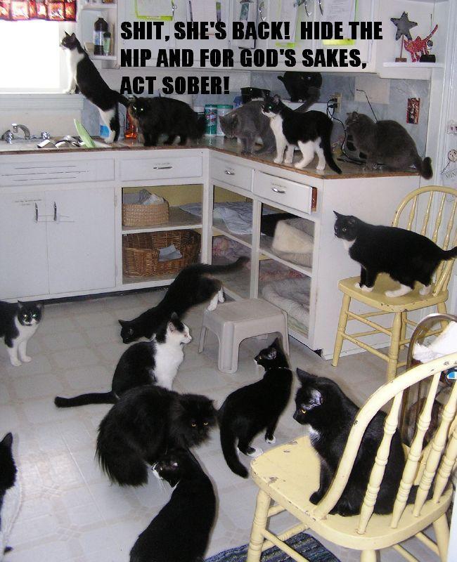 hide cat nip catnip act sober kitchen lots of cats party lol cat macro