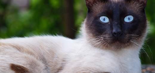 Siamese Cat | Breeds | Cat Mania | For Cat Lovers