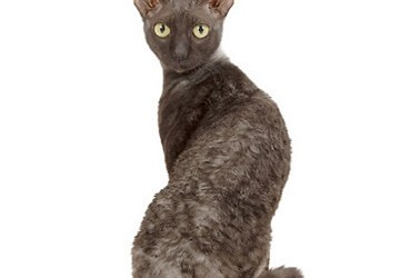 Cornish Rex Cat | Cat Breed Information | Cat Mania for Cat Lovers!