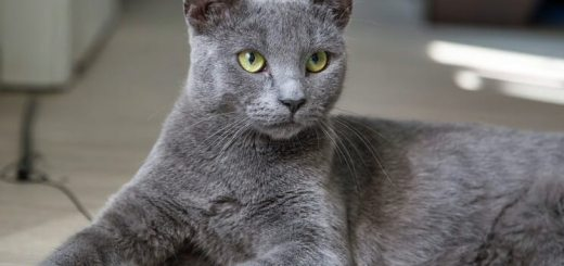 Russian Blue : Cat Breeds | Breed Info | Cat Mania | For Cat Lovers