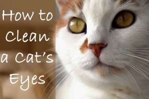 How to Clean a Cat's Eyes