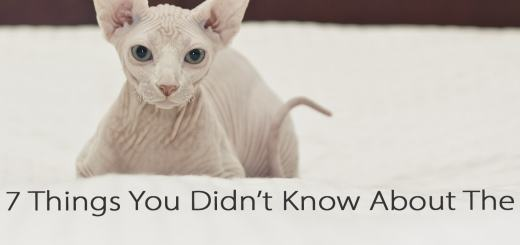 7 Things You Didn't Know About The Sphynx Cat | Cat Mania