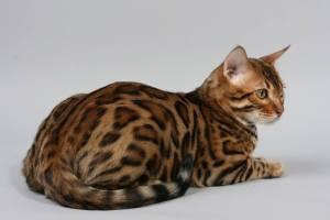 Bengal : Cat Breeds