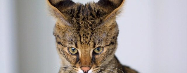 Savannah Cat : Cat Breeds | Cat Mania | For Cat Lovers