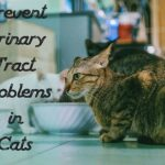 Prevent Urinary Tract Problems in Cats