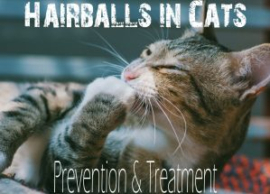 Hairballs in Cats : Prevention & Treatment