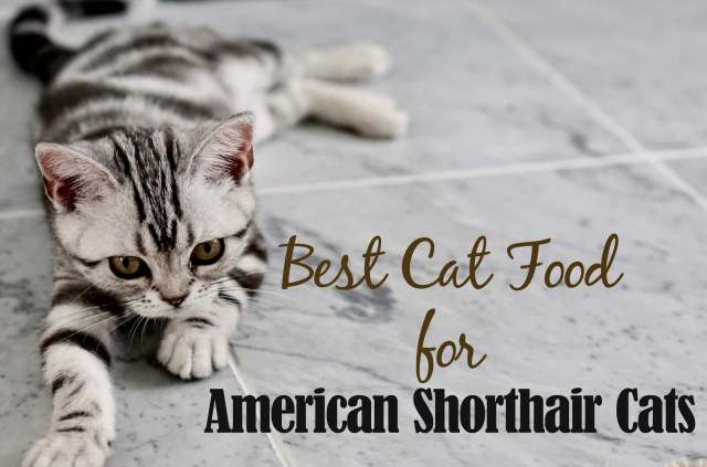 BEST CAT FOOD FOR AMERICAN SHORTHAIR CATS