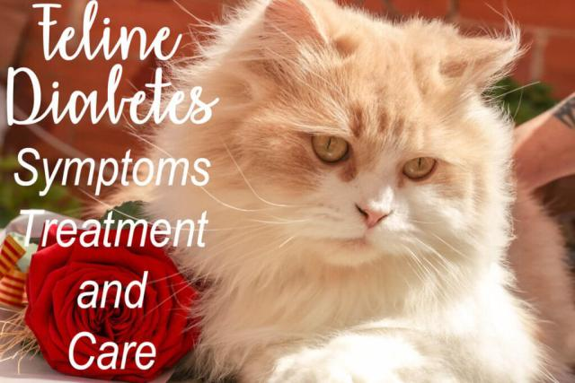 Feline Diabetes : Symptoms, Treatment and Care