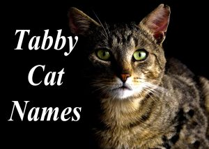 Tabby Cat Names : 100 + Perfect Names
