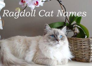 Ragdoll Cat Names : 100 + Perfect Names