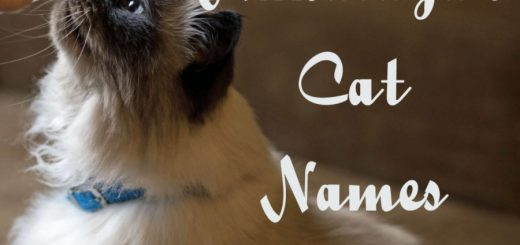 Himalayan Cat Names