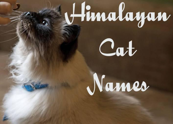 Himalayan Cat Names
