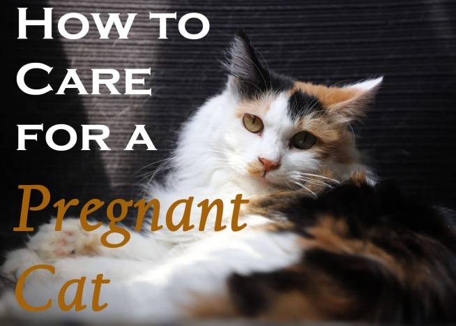 How to Care for a Pregnant Cat
